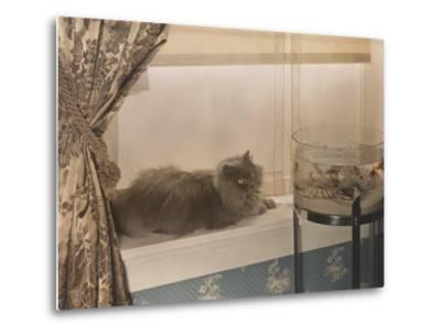 Blue Persian Cat Stares Intensely at Goldfish in a Bowl-Willard Culver-Metal Print