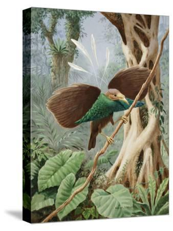 Perching Wallace's Standard-Wing Spreads its Wings-Walter Weber-Stretched Canvas Print