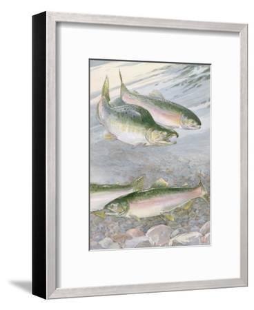 Painting of Pink Salmon at their Nest, with Typical Hump-Backed Male-Hashime Murayama-Framed Photographic Print