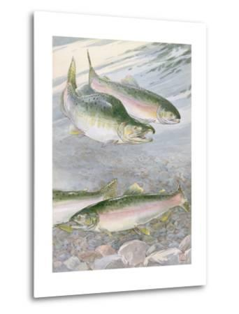 Painting of Pink Salmon at their Nest, with Typical Hump-Backed Male-Hashime Murayama-Metal Print
