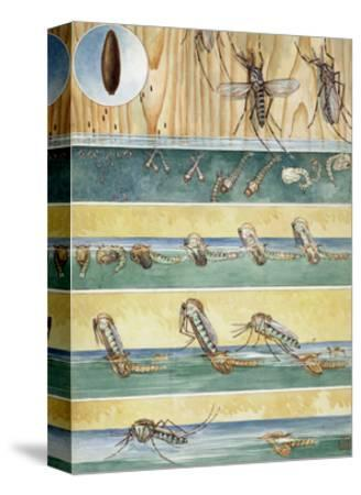 Life Cycle of Aedes Aegypti, the Mosquito That Carries Yellow Fever-Hashime Murayama-Stretched Canvas Print