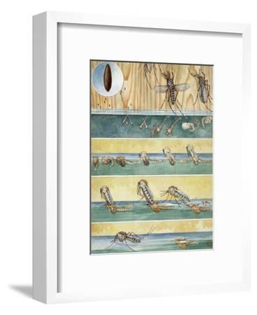Life Cycle of Aedes Aegypti, the Mosquito That Carries Yellow Fever-Hashime Murayama-Framed Photographic Print