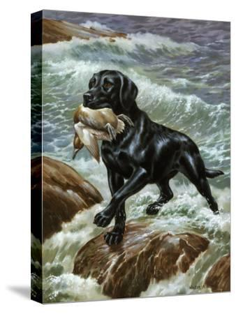 Labrador Retriever Climbs from Surf with Dead Duck in its Jaws-Walter Weber-Stretched Canvas Print