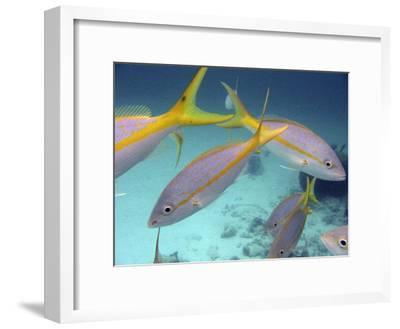 School of Tropical Fish in Clear Blue Water-Greg Dale-Framed Photographic Print