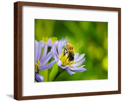 Honey Bee Collecting Pollen from an Aster Flower with Purple Petals-White & Petteway-Framed Photographic Print