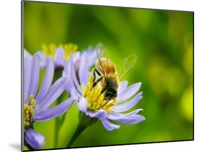 Honey Bee Collecting Pollen from an Aster Flower with Purple Petals-White & Petteway-Mounted Photographic Print