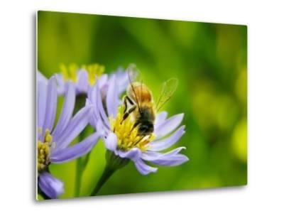 Honey Bee Collecting Pollen from an Aster Flower with Purple Petals-White & Petteway-Metal Print