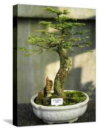 Bonsai Tree Inside of the Botanical Garden in Singapore-xPacifica-Stretched Canvas Print