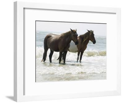 Wild Horses Bathe in the Atlantic Ocean Off the Coast of Maryland-Stacy Gold-Framed Photographic Print