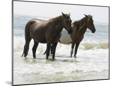 Wild Horses Bathe in the Atlantic Ocean Off the Coast of Maryland-Stacy Gold-Mounted Photographic Print