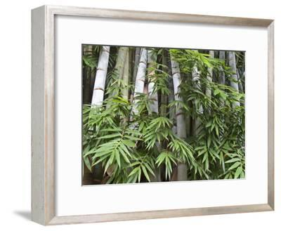 Close View of Bamboo with Leaves-Michael Melford-Framed Photographic Print