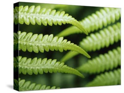 Delicate Leaf Vein Patterns on King Fern Fronds-Jason Edwards-Stretched Canvas Print