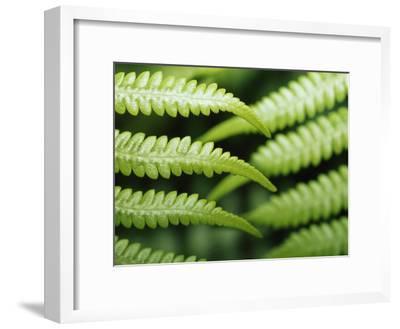 Delicate Leaf Vein Patterns on King Fern Fronds-Jason Edwards-Framed Photographic Print