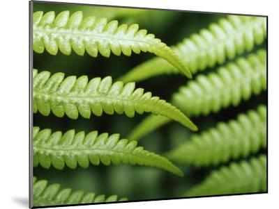 Delicate Leaf Vein Patterns on King Fern Fronds-Jason Edwards-Mounted Photographic Print