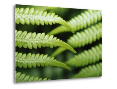 Delicate Leaf Vein Patterns on King Fern Fronds-Jason Edwards-Metal Print