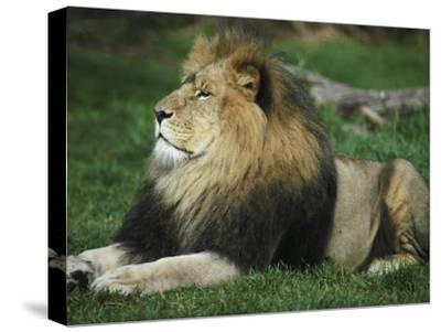 Immense and Powerful African Lion Male Surveys His Domain-Jason Edwards-Stretched Canvas Print