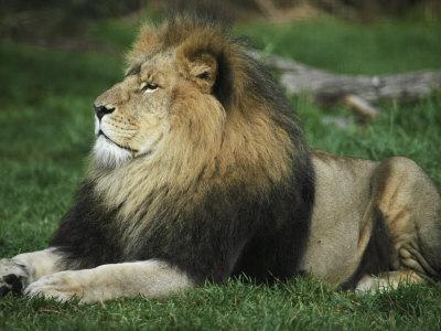 Immense and Powerful African Lion Male Surveys His Domain-Jason Edwards-Premium Photographic Print