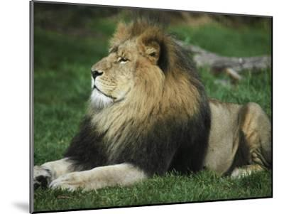 Immense and Powerful African Lion Male Surveys His Domain-Jason Edwards-Mounted Photographic Print