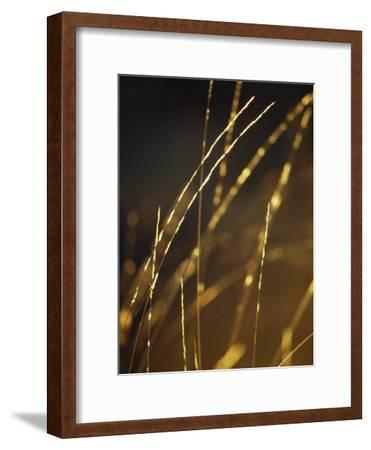 Delicate and Fragile Native Wire Grass Backlit by the Rising Sun-Jason Edwards-Framed Photographic Print