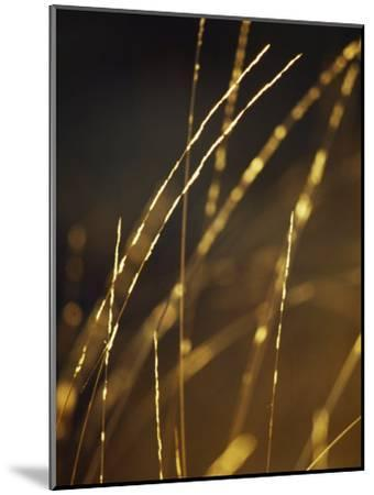 Delicate and Fragile Native Wire Grass Backlit by the Rising Sun-Jason Edwards-Mounted Photographic Print