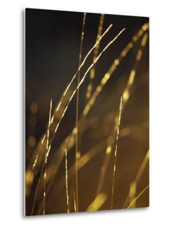 Delicate and Fragile Native Wire Grass Backlit by the Rising Sun-Jason Edwards-Metal Print