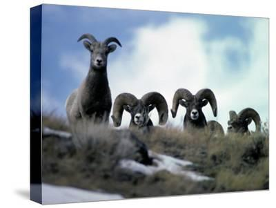 Bighorn Rams Peer over the Ridge at Photographer-Michael S^ Quinton-Stretched Canvas Print
