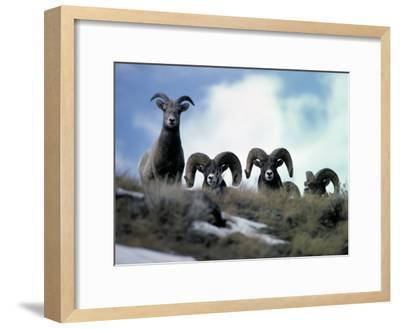 Bighorn Rams Peer over the Ridge at Photographer-Michael S^ Quinton-Framed Photographic Print