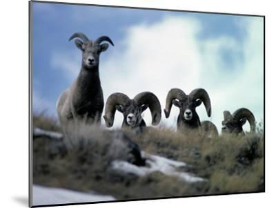 Bighorn Rams Peer over the Ridge at Photographer-Michael S^ Quinton-Mounted Photographic Print