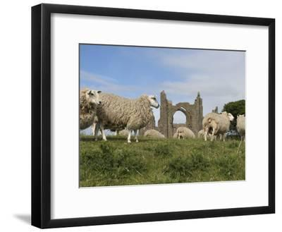 Grazing Sheep in Front of the Lindisfarne Priory-Keenpress-Framed Photographic Print