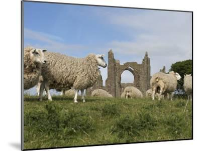 Grazing Sheep in Front of the Lindisfarne Priory-Keenpress-Mounted Photographic Print