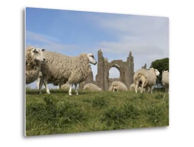 Grazing Sheep in Front of the Lindisfarne Priory-Keenpress-Metal Print