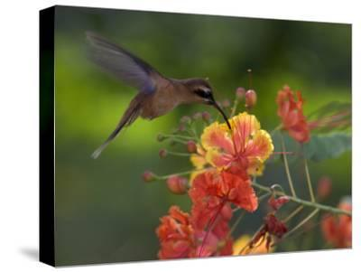 Little Hermit Hummingbird Drinking from a Flower-Roy Toft-Stretched Canvas Print
