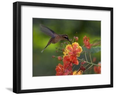 Little Hermit Hummingbird Drinking from a Flower-Roy Toft-Framed Photographic Print