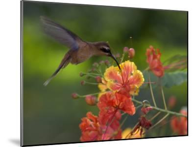 Little Hermit Hummingbird Drinking from a Flower-Roy Toft-Mounted Photographic Print