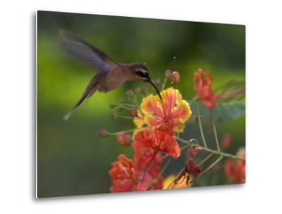 Little Hermit Hummingbird Drinking from a Flower-Roy Toft-Metal Print