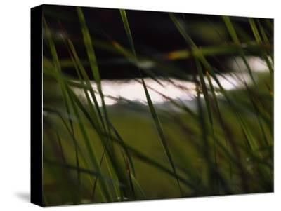 Marsh Grasses Sway in the Breeze with Water in the Background-Brian Gordon Green-Stretched Canvas Print