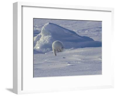 White Arctic Fox (Alopex Lagopus) Jumps on a Ringed Seal Pup Den-Norbert Rosing-Framed Photographic Print