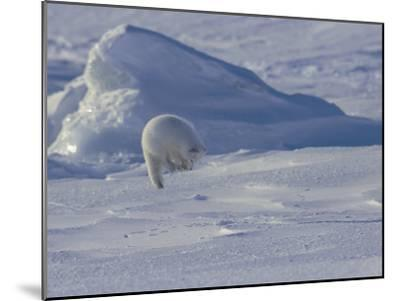 White Arctic Fox (Alopex Lagopus) Jumps on a Ringed Seal Pup Den-Norbert Rosing-Mounted Photographic Print