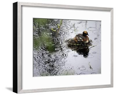 Horned Grebe on Boreal Pond with Baby in a Rainstorm-Michael S^ Quinton-Framed Photographic Print