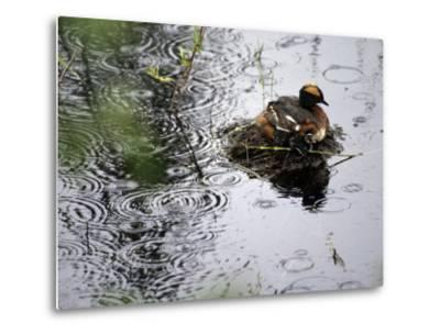 Horned Grebe on Boreal Pond with Baby in a Rainstorm-Michael S^ Quinton-Metal Print