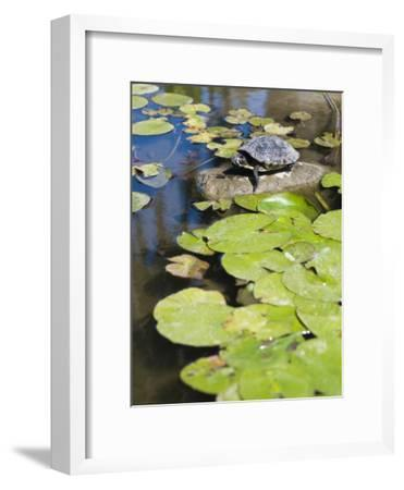 Single Red-Eared Slider Turtle on Rock in a Pond, Trachemys Scripta-James Forte-Framed Photographic Print