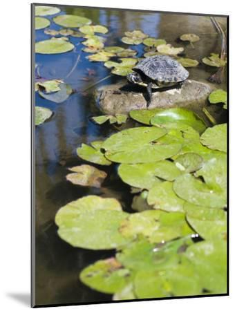 Single Red-Eared Slider Turtle on Rock in a Pond, Trachemys Scripta-James Forte-Mounted Photographic Print