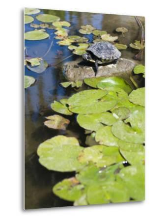 Single Red-Eared Slider Turtle on Rock in a Pond, Trachemys Scripta-James Forte-Metal Print