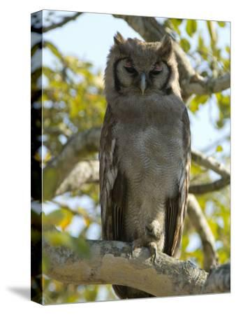 Verreaux's Eagle Owl, Bubo Lacteus, or Milky Eagle Owl, in a Tree-Paul Sutherland-Stretched Canvas Print