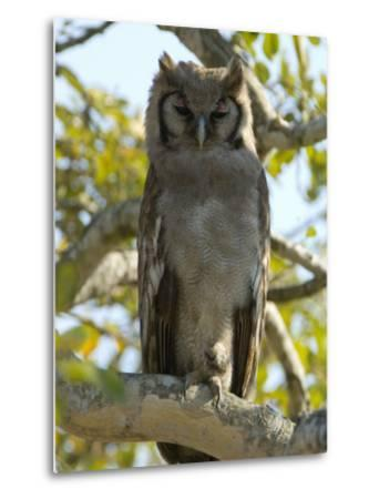 Verreaux's Eagle Owl, Bubo Lacteus, or Milky Eagle Owl, in a Tree-Paul Sutherland-Metal Print