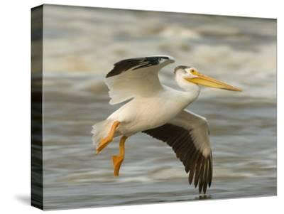 American White Pelican in Low Flight over the Slave River Rapids-Klaus Nigge-Stretched Canvas Print