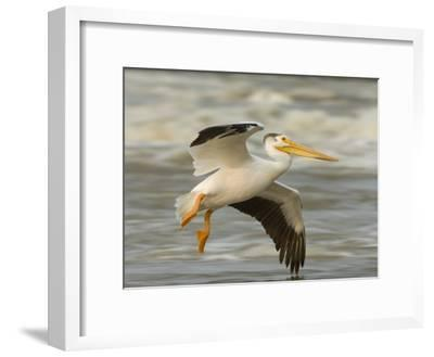 American White Pelican in Low Flight over the Slave River Rapids-Klaus Nigge-Framed Photographic Print