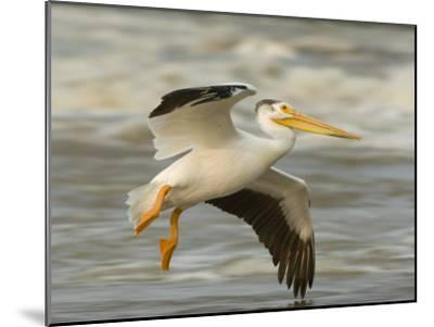 American White Pelican in Low Flight over the Slave River Rapids-Klaus Nigge-Mounted Photographic Print