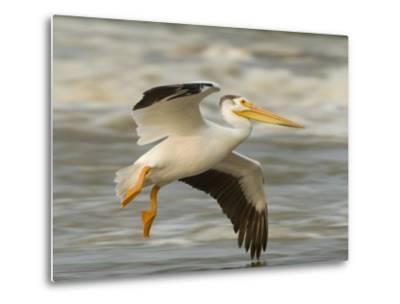 American White Pelican in Low Flight over the Slave River Rapids-Klaus Nigge-Metal Print