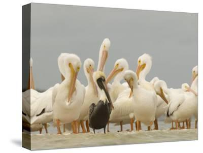 Brown Pelican Among Over-Wintering American White Pelicans-Klaus Nigge-Stretched Canvas Print